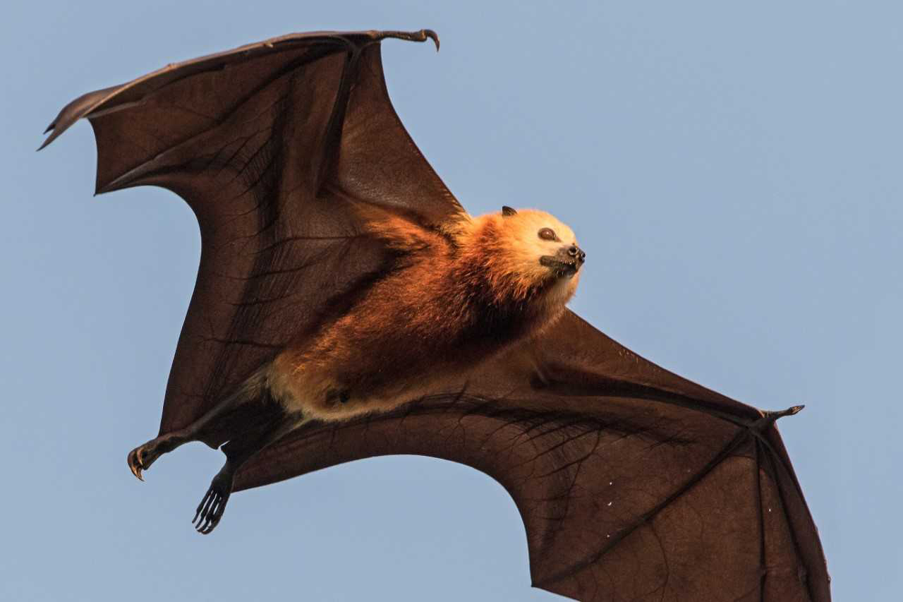 Misunderstood Flying Fox Could Prove Bat Species Demise Warn Scientists