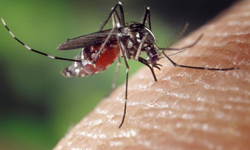 Chikungunya infectious disease, spread by mosquito bites, causes extreme pain, incapacitation and potentially death.