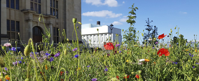 close up of wildflower meadow with the HH Wills Physics Building in background